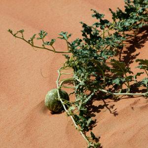 Kalahari Melon